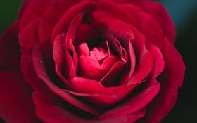 Обои роза, цветок, лепестки, красный