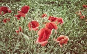 Обои трава, цветы, маки, лепестки, красные