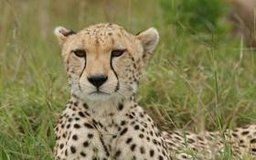 Картинка кошка, трава, морда, гепард
