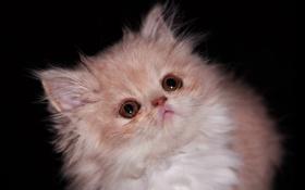 Обои пушистый, котенок, кошка