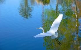 Картинка птица, крылья, вода, цапля