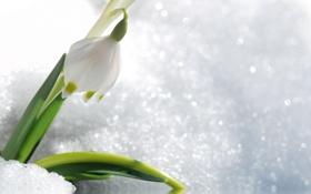 Обои цветок, снег, весна, первоцвет