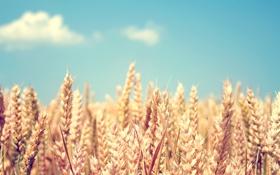 Картинка пшеница, поле, небо, колоски, колосья, злаки