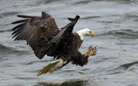 Обои птица, полёт, орёл