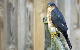 Картинка птица, забор, Sparrowhawk