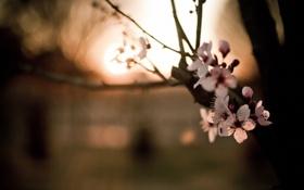 Картинка макро, цветы, ветки, весна, боке