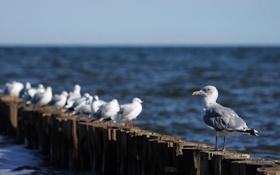 Картинка море, животные, вода, птицы, океан, птица, чайки