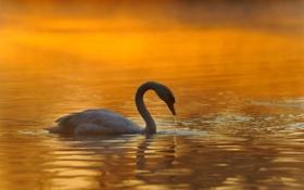 Обои зима, лебедь, озеро, природа, расвет