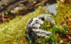 Обои трава, глаза, паук, смотрит, паучок