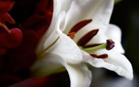Обои цветок, тычинки, пестик, белые.лепестки