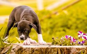 Обои цветы, лето, собака