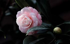 Обои цветение, листья, Bud, камелия, кустарник, Camellia, shrubs