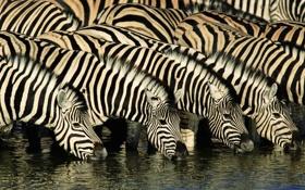 Обои природа, река, зебра, африка, водопой