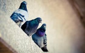 Картинка голуби, дом, птицы