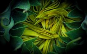 Картинка цветок, макро, серединка, подсолнуха
