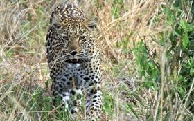 Обои морда, заросли, хищник, леопард, прогулка, дикая кошка, кустарник
