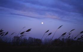 Картинка поле, фиолетовый, небо, облака, природа, камыши, луна