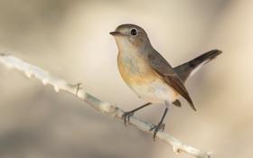Картинка птица, ветка, мухоловка