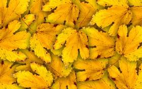 Обои листья, autumn, осень, желтые