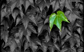 Обои листья, природа, цвет