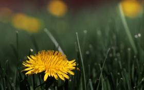 Картинка flower, Dandelion, Taraxacum officinale