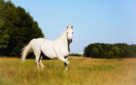 Картинка поле, белый конь, Holsteiner, племенной
