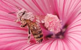 Обои цветок, макро, природа, пчела, пыльца