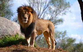 Картинка взгляд, природа, лев