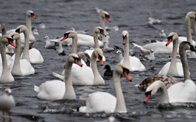 Обои вода, птицы, белые, лебеди, стаи