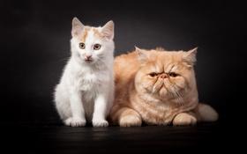 Картинка взгляд, кошки, фон