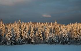Обои зима, Снег, ёлки