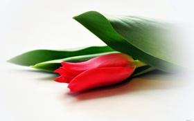 Обои листья, красный, тюльпан, размытость, белый фон
