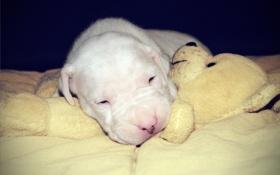 Картинка щенок, спящий щенок, белый ангел, питомник Fortuna Niks, с мишкой, аргентинский дог