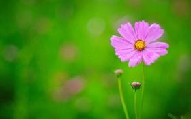 Обои цветок, стебли, лепестки, бутон, розовые, цветение