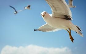 Картинка небо, полет, птица, чайка