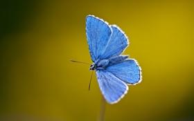 Обои бабочки, синий, крылья, стебель, усики, blue, wings