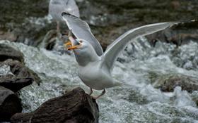 Картинка птица, камни, обед, чайка