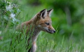 Картинка трава, взгляд, лиса, профиль, детёныш, лисица, лисёнок