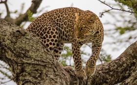 Обои хищник, засада, леопард, на дереве