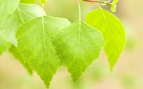 Обои листья, зеленый, весна