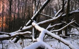 Обои лес, снег, дерево