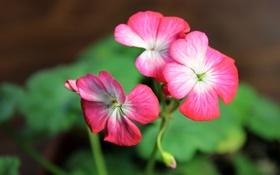 Обои макро, цветы, герань