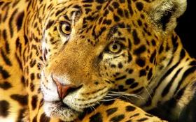 Обои кошка, Jaguar, большая