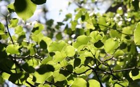 Обои листья, свет, ветка