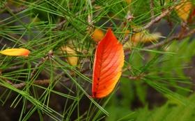 Обои осень, иголки, желтый, лист, хвоя