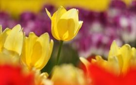 Обои весна, тюльпаны, желтый, красное, фокус