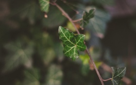 Обои лист, зеленый, веточка, листок, растение, ветка