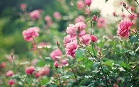 Обои куст, розы, розовые