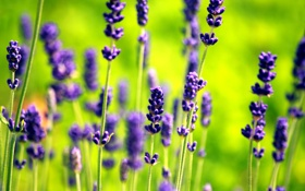 Обои цветы, зеленый, сиреневый, лаванда, Lavender