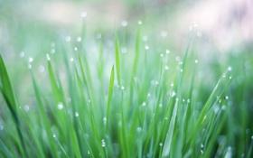 Обои зелень, трава, капли, макро, свет, роса, блики